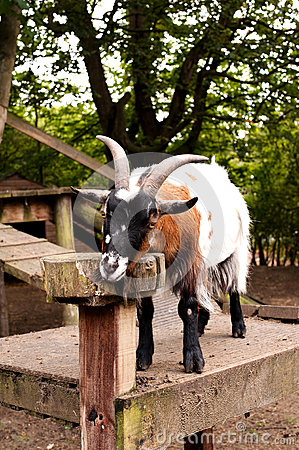 Goat in a city farm