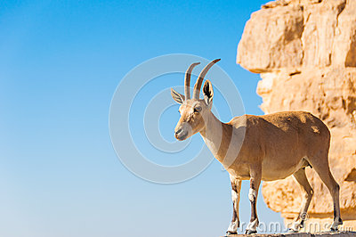 Goat on cliff