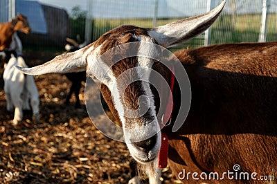 Goat closeup