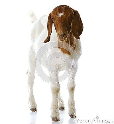 Goat doeling standing