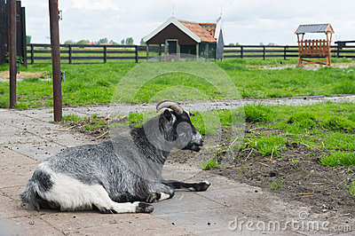 Goat on Dutch farm