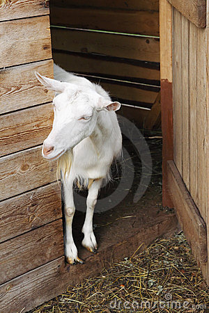Goat in a farm
