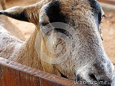 Goat on a farm