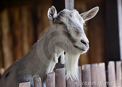 Goat at farm