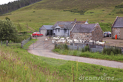 Goat farm in scotland