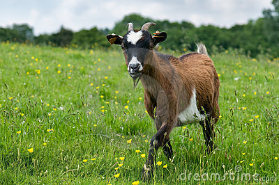Goat in a field