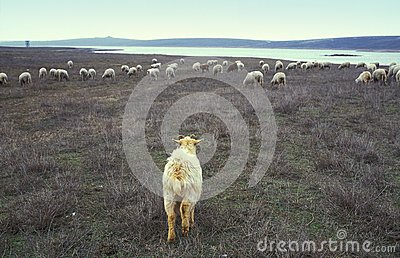 Goat and flock of sheep