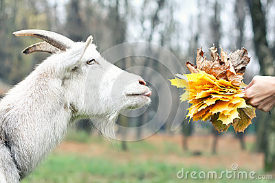 Goat gets the food