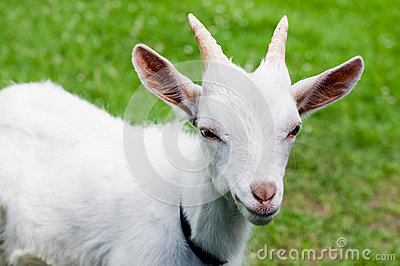 Goat in grass