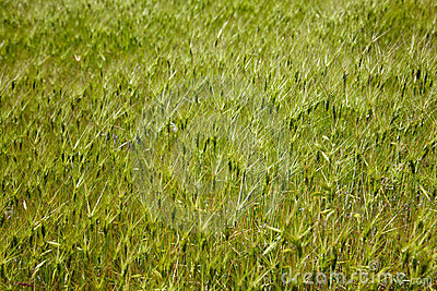 Goat grass meadow