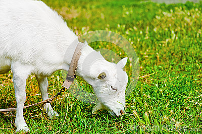 Goat Grazed On A Meadow And Eating Stock Photography - Image: 26029972