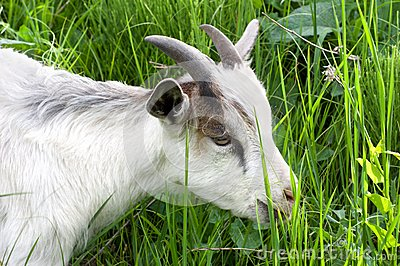 Goat in the green grass