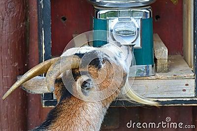 Goat Helping itself