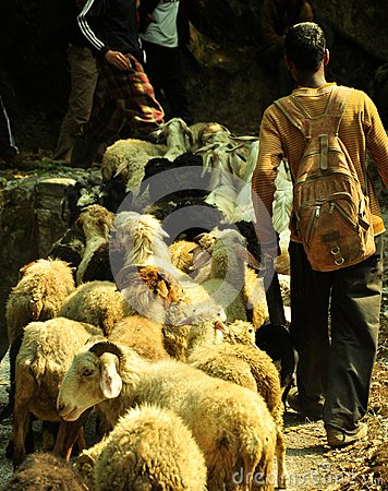 Goat herder with his flock Editorial Photography