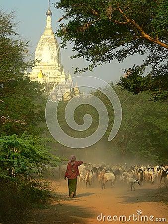 Goat Herding, Bagan Archaeological Zone, Heritage Site. Myanmar (Burma)