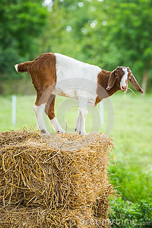 Free Goat In Farm Stock Image - 33449201