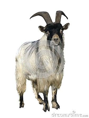 Free Goat. Isolated Over White Stock Photo - 21854810
