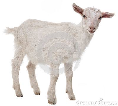 goat isolated on a white background.