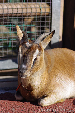 A Goat for Kebab or Sate