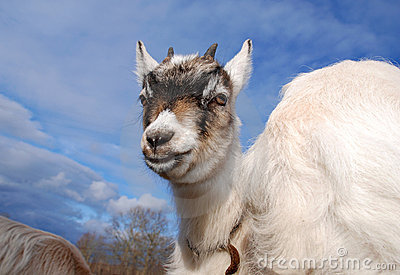 Goat kid with atitude