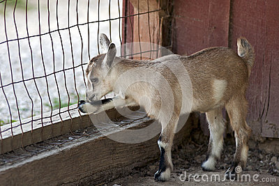 Goat kid at fence
