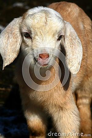Goat Kids 09