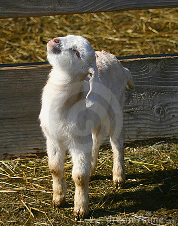 Free Goat Kids 0901 Royalty Free Stock Images - 8551689