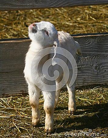 Goat Kids 0901
