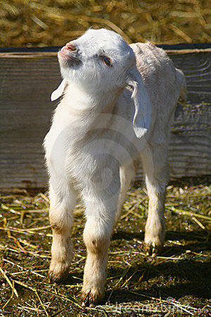 Free Goat Kids 0902 Stock Photography - 8552172