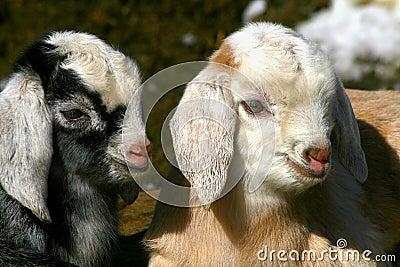Goat Kids 0903