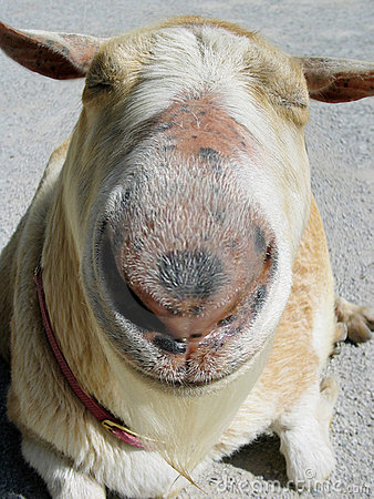 Goat with a large nose