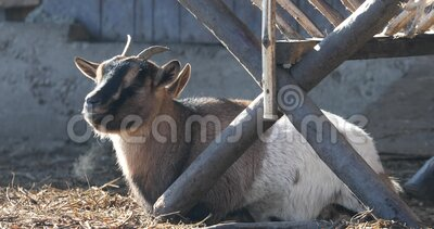 The goat lies outside on the hay. On a winter sunny day with steam coming out of her mouth stock video