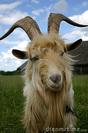 Free Goat Looking At You Royalty Free Stock Photography - 6417