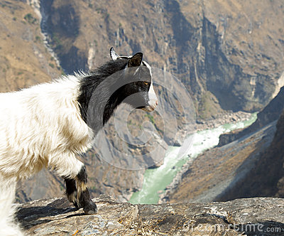 Goat Looking Over Edge