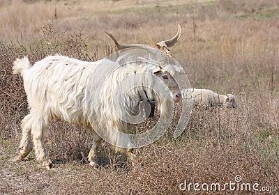 Goat male