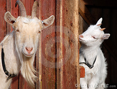 Goat mother and daughter