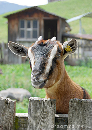 Goat in a mountain farm