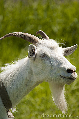 Free Goat On A Meadow Royalty Free Stock Photo - 10023435