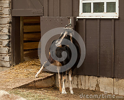 Goat outside his barn