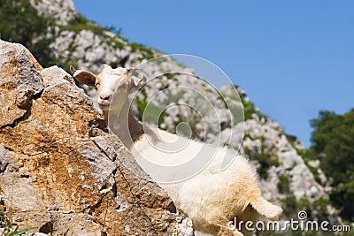 Goat in Picos de Europa