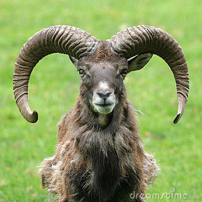 Free Goat Portrait Royalty Free Stock Photography - 1856017