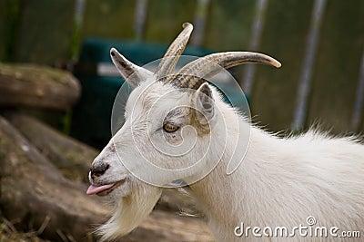 Goat pulling tongues