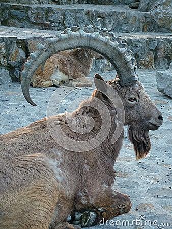 Goat ram