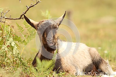 Goat relaxing in the grass