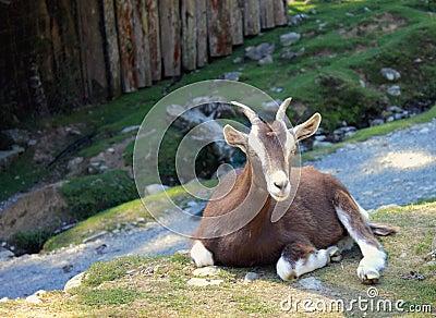 A Goat Rests