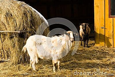 Goat s