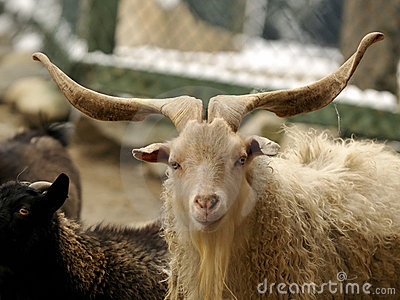 The goat s horns are long and beautiful