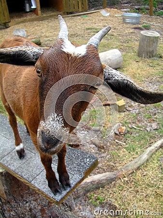 Goat says Huh?