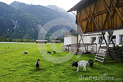 Goat and sheep in the farm