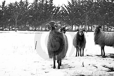 Goat and sheep in the snow
